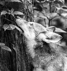 Hug a Tree (dshoning) Tags: wolf puppy minnesota eyes tree smell
