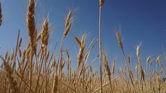 In the field of gold (Quique CV) Tags: summer sky naturaleza nature gold spain cielo verano fields stillness dorado trigo tranquilidad 2016 ilce5100