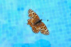 Mariposa flotando sobre el agua (Porschista) Tags: barcelona water agua piscina catalunya mariposa maresme buterfly aigua hormiga swimingpool papallona