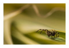 en construction (philippe.savry1) Tags: macro nature canon plante garden jardin vert 100mm 5d araigne dtail f28l ef100mm arachnen
