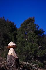 Toadstool? (Kiwi Jono) Tags: wood tree pentax carve toadstool pentaxk5 smcpda70f24