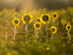 20160716 Md Sunflowers Sunrise069 (Dan_Girard_Photography) Tags: 2016 dangirardphotography poolsville sunflowers sunrise