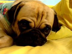Charlotte the Pug (L Photographer) Tags: dog chien pet pug perro mascota carlino