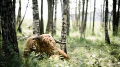 I see you (Arto Leppnen Photography) Tags: finland porvoo suomi aurinko bokeh kes shadow summer sunny valo varjo ylmaankarja highlandcattle scottish cow cinematic 16x9 105mm dof artoleppnenphotography koivu eyes