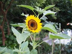 Sunflower (hakudai) Tags: olympus omd flower