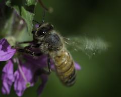 Bee_SAF0054 (sara97) Tags: copyright2016saraannefinke missouri nature outdoors photobysaraannefinke saintlouis towergerovepark bee pollinator insect flyinginsect endangered