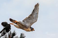 Off for a Meal (Rick Derevan) Tags: bird falcon peregrinefalcon raptor falcoperegrinus california
