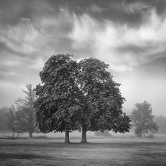 Solidarity (Damian_Ward) Tags: damianward photography damianward buckinghamshire aylesburyvale bucks aylesbury fairfordleys trees mist misty fog foggy