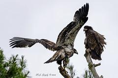 Branching Eaglets (20160709-144838-PJG) (DrgnMastr) Tags: bravo fb cropped eagles baldeagles eaglets littlestories avianexcellence sacrednature overtheexcellence picswithsoul naturescarousel dmslair grouptags allrightsreserveddrgnmastrpjg pjgergelyallrightsreserved ia59