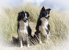 Flick & Echo (redshift1960) Tags: dogs canon sand echo border hills 28 flick collies 200mm 5dmkiii