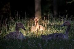sitting in the morning sun (mani270682) Tags: berlin tiere schwan vogel hohenschnhausen