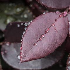 On the edge. (Omygodtom) Tags: sunny evening leica drops raindrop waterdrops abstract macromonday macro tamron pov dof bokeh mist natural scene senery nikon d7100 outdoors leaves