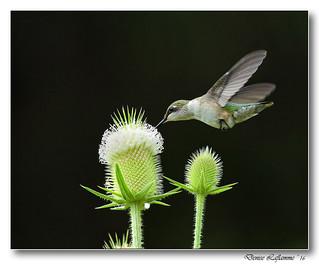 1E1A6568-DL  -  Colibri à gorge rubis / Rubby-Throated Hummingbird