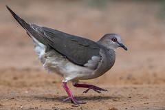 White-tipped Dove (Ruthie Kansas) Tags: