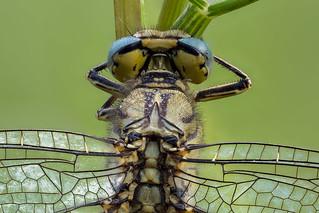 Schlafende Westliche Keiljungfer (Gomphus pulchellus) Detailaufnahme