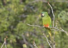 Blue-winged Macaw - maracanã-verdadeira - Primolius maracana
