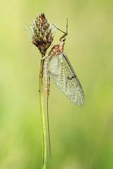 Ephemera lineata (Prajzner) Tags: macro nature naturallight manfrotto mayfly sigma105mmmacro sigma105macro subcarpathia nikond7100 prajzner manfrottomt190xpro3 ephemeralineata stripedmayfly