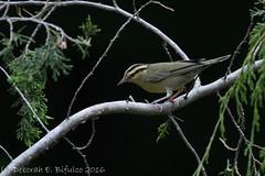 Worm-eating warbler (dbifulco) Tags: foy wewa bird juniper nature newjersey nikkor300f4pfed wildlife wormeatingwarbler yard