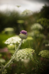 Thistle and cow parsley (tonybill) Tags: flowers gardens july miscellaneous rhs rhswisley rikenon55mmf14 sonya7 surrey wisley bokeh
