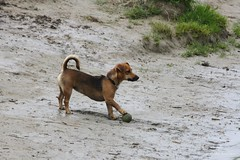 Play with me please :-) (Max Jongkoen) Tags: dog bal play water spelen messi controle controlsthebal