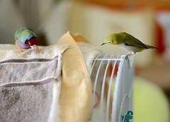 DSC_9225 (Jenny Yang) Tags: 小呆 小蕃茄 胡錦鳥 寵物鳥 lady gouldian finch pet bird 小綠 奇異果 綠繡眼