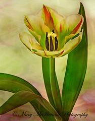 Spring Open (Mary McIlvenna Photography) Tags: floralart macro flora texture tulipviridiflora tulip flower