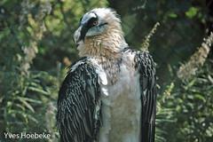 lammergier-2.jpg (yhoebeke) Tags: lammergier roofvogels accipitridae lammergeier gypaetusbarbatus