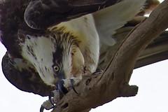 I shall not be moved - close-up (audiodam) Tags: australianbirds australianwildlife raptors osprey kite whistlingkite