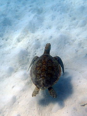 Green sea turtle Michaelmas Cay (dracophylla) Tags: michaelmascay greatbarrierreef queensland australia