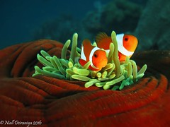 RED VELVET APPLE  HOME (Niall Deiraniya Underwater Photography) Tags: nemo anemone anenomefish lembeh sulawesi
