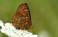 Scarce Fritillary (Euphydryas maturna)... (festoon1) Tags: scarcefritillary euphydryasmaturna butterfly