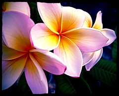 Tropical Splendour (Mary Faith.) Tags: frangipani flower bloom tropical star nature tree pink bicolour macro art design perfeume fragrant bestofblinkwinners mimamorflowers mygearandme ringexcellence
