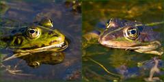 Two different frogs - Zwei verschiedene Frsche (Uli) (Uli-Joe) Tags: breiteswasser canonef100400mmf4556lisiiusm canoneos7d landschaft marshfrog pelophylaxesculentus pelophylaxridibundus ranaesculenta ranaridibunda seefrosch teichfrosch wasser water waterfrog wildlebendestier