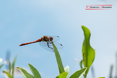 Dragonfly (Thoober) Tags: gelb dragonfly insect sky green miracle animal libelle flgel canon eos 70d 70200