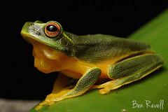 Graceful tree-frog (Litoria gracilentia) (benrevell86) Tags: qfs queensland australianwildlife australianfrogs amphibians sonya6000 wildlife nature daintytreefrog gracefultreefrog frogs frog litoriagracilentia litoria