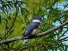 DSC_2021_lzn (Jacques Sauvé) Tags: martin pêcheur damérique belted kingfisher martín gigante norteamericano
