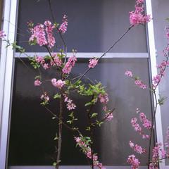 (  / Yorozuna) Tags: filmscanning filmshot     analogphotography  shinjukuward  tokyo japan  wakamatsucho  wakamatsukawada      peachblossom peach blossom flower pink      tree plant  window  spring flexaretautomatvi flexaretvi