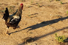 Run Rooster...Run! (Sabina Hall) Tags: gallo rooster fattoria iaiaoh