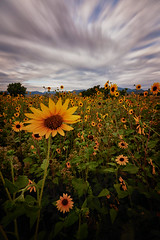 Sunflowers (stevepamp) Tags: stevepamp colorado landscape sunflower sunflowers clouds outdoor outdoors canon canoneos5dmkiii canoneos1740f4l longexposure nd ndfilter neutraldensityfilter