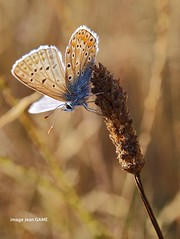 le papillon se reveille (jean_game) Tags: exterieur nature automne matin gramines papillon lumirechaude outdoor fall morning grasses butterfly warmlight