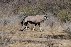Orix-Antilope (Stefan Giese) Tags: namibia afrika africa okaukejo tier animal orix antilope oryx fz1000 panasonic