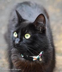 Curious Tufty (simonevanbergen) Tags: fluffy mrmew simonevanbergen svb tufty black blackandwhite calico cats garden kitten mew