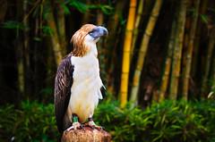 Philippines Eagle - Pithecophaga jefferyi (Hendraxu) Tags: bird eagle aves philippines philippineseagle monkeyeater fauna animal