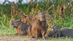 Anoher capybara family (Tambako the Jaguar) Tags: capybara many family rodent sitting posing vegetation wildanimal wild wildlife nature pantanal matogrosso brazil nikon d5