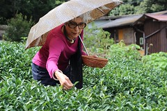 Hand picking tea in Obubu's tea fields (Obubu Tea Farms) Tags: handpicking sencha picking tea greentea green teafields wazuka kyoto obubu