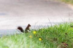 Ecureuil roux (sfrancois73) Tags: mammifre cureuil faune mammifre cureuil