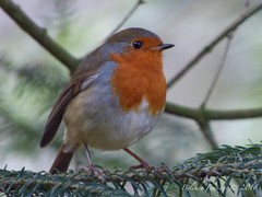 Robin Redbreast (Belinda Fewings (3 million views. Thank You)) Tags: october robin newforestnationalpark newforest belindafewings panasoniclumixdmc bokeh city street seaside colour colourful artistic pbwa creativeartphotograhy creative arty beautiful beautify beauty lovely outdoors outside out best depthoffield garden color colours colors interesting interest