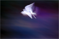 Seagulls in Flight_004 (1) (cees van gastel) Tags: ceesvangastel seagulls zeemeeuwen birds vogels nature natuur flying vliegend ndevlucht speed snelheid beweging canoneos550d tamron70300mm