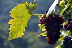 Vine Leaf (gps1941) Tags: grapes vineyard rebe weintrauben weinberg weinblatt