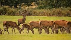 Red Feeling Frisky! (ianderry64) Tags: leicester park bradgate wildlife herd nature doe stag frisky rutting rut reddeer